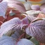 紫蘇の香り