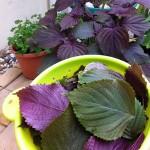 紫蘇ジュースと紫蘇の佃煮